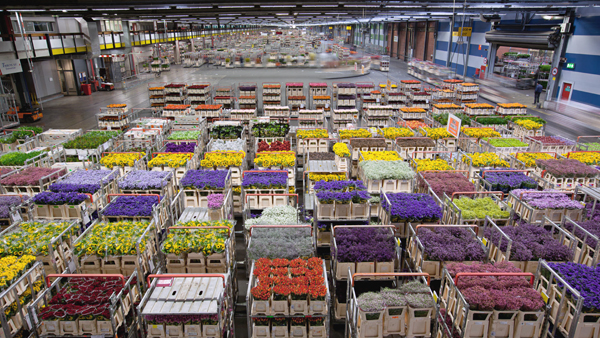 A small portion of the millions of flowers transiting by air through Amsterdam daily (˜5 million per day from 60 countries) where roses can be cut in Kenya and in an Alaskan home in just under 4 days—image provided by National Geographic